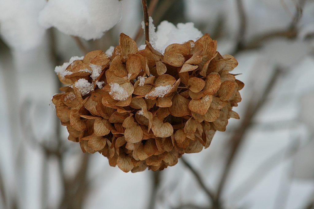Winter garden Hydrangea