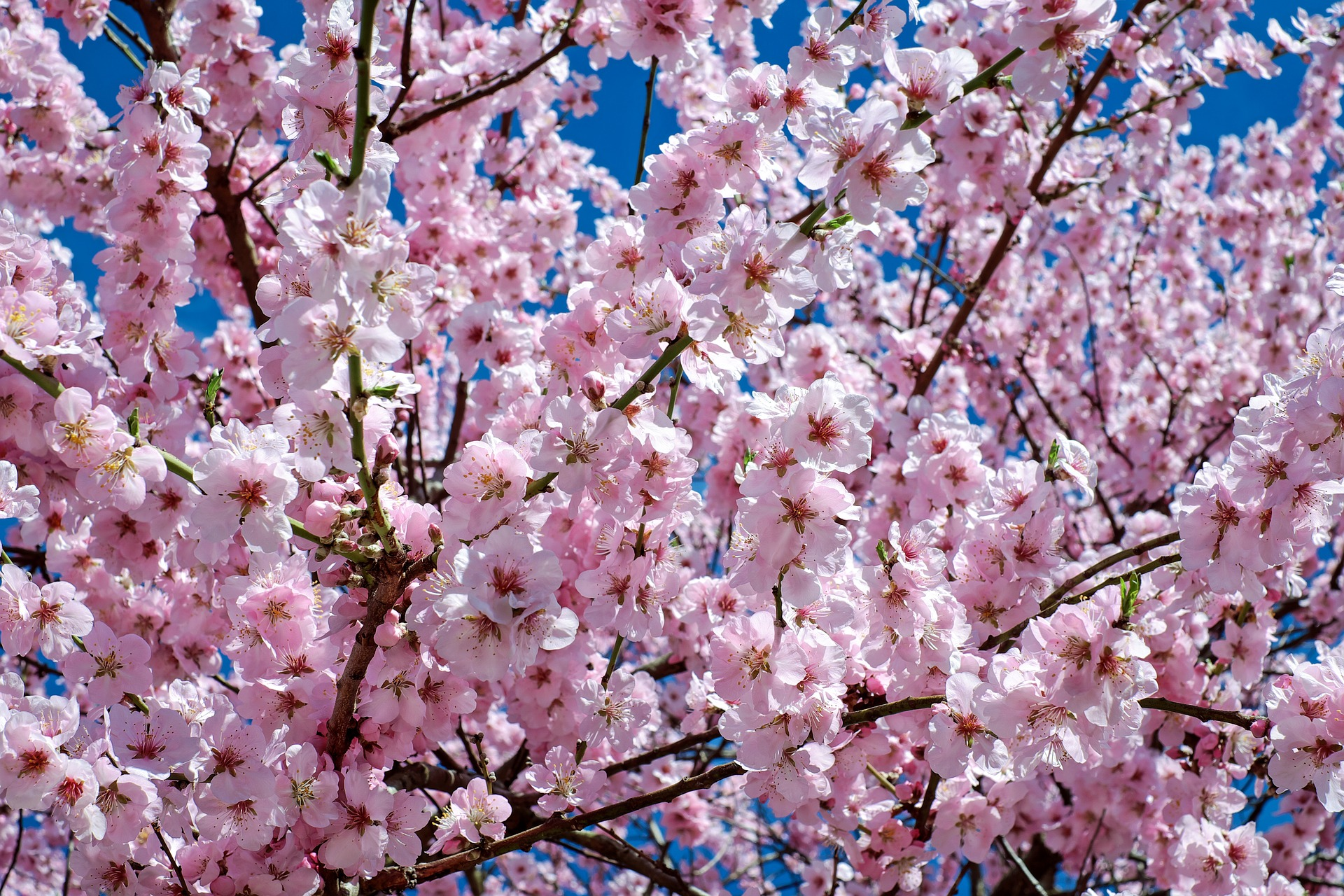 Garden - Japanese Cherry Tree